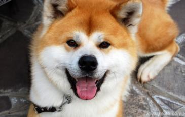 Морда собаки Акита-Ину