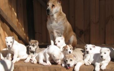 Сука алабая со щенками