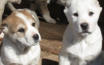Два щенка алабая на фото