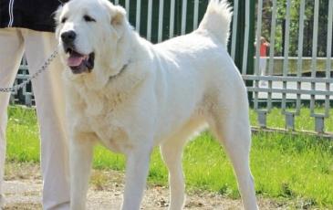 Порода собак среднеазиатская овчарка