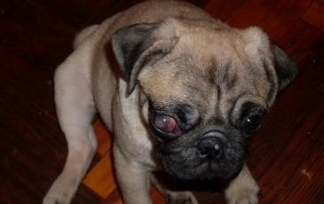 Болезни глаз мопсов