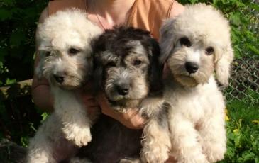 Три щенка породы денди-динмонт-терьер