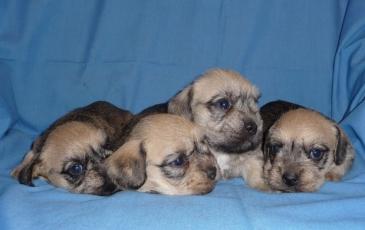 Маленькие щенки денди-динмонт-терьера