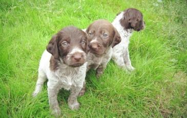 Маленькие щенки дратхаара