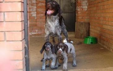Сука дратхаара с щенками