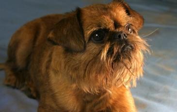Собака породы брюссельский гриффон