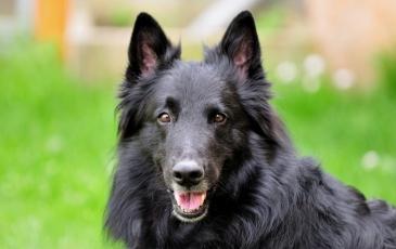 Порода собак грюнендаль