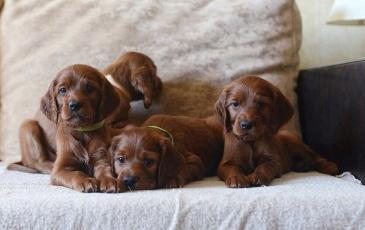 На фото щенки ирландского сеттера