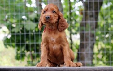 Маленький щенок ирландского сеттера
