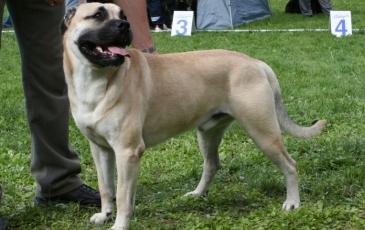 Порода собак ка де бо