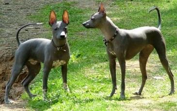 Две собаки ксолоитцкуинтли
