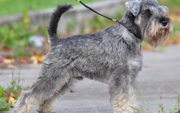 Собака породы миттельшнауцер