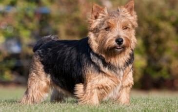 Порода собак норвич-терьер