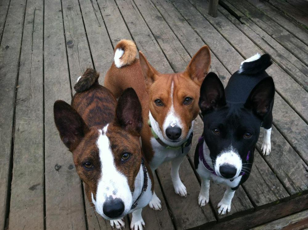 Basenji Breeders Australia  Dogz Online