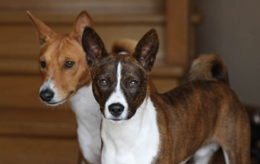 Фото. Басенджи окрас собак, рыже-белый