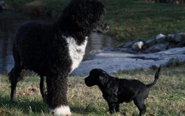 Щенок португальской водяной собаки