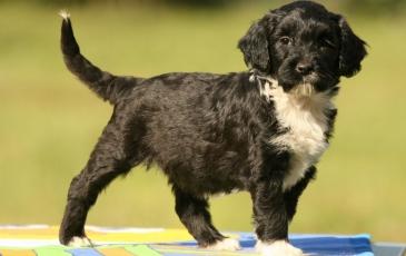 Щенки португальской водяной собаки