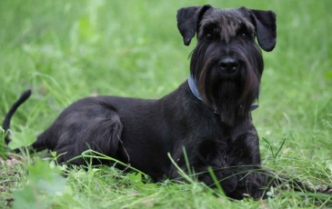 Порода собак ризеншнауцер