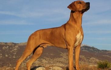 Порода собак родезийский риджбек