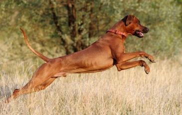 Родезийский риджбек в прыжке