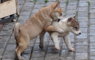 Западно сибирская лайка: характеристика породы, описание и фото собаки