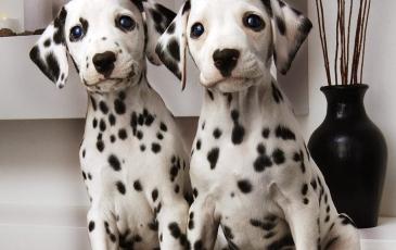 Описание породы собак далматинец: характер, отзывы и фото