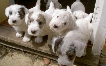 Маленькие щенки силихем-терьера