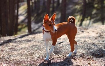 Фото. Собака басенджи
