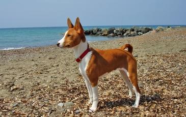 Фото. Собака породы басенджи