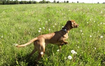 Собака породы венгерская выжла