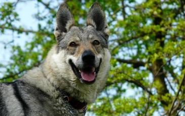 Чехословацкий влчак на фото