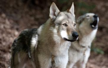 Волкособ