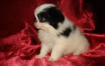 Маленький щенок японского хина
