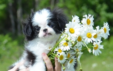 Японский хин: описание породы с фото, характер собаки, стандарты и отзывы владельцев