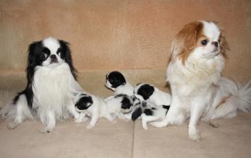 Сука и кобель японского хина с щенками