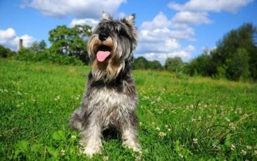 Порода собак цвергшнауцер на фото