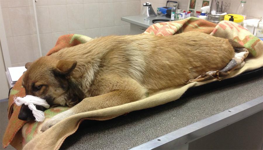 В каком возрасте делать стерилизацию собак
