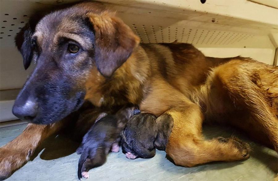 Девятая неделя беременности собаки