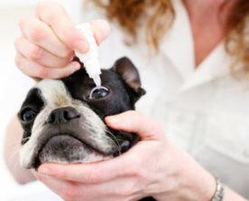 Медикаментозное лечение бельма у собак