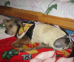 Стерилизация собаки: стоит ли ее делать, основные плюсы и минусы операции