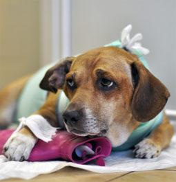 Лечение гидроцефалии у собаки