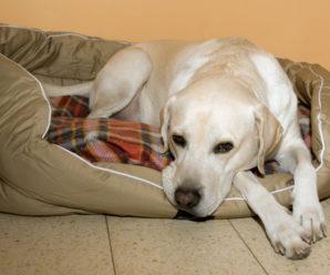 Когда у собак начинается первая течка, продолжительность, особенности и рекомендации по уходу