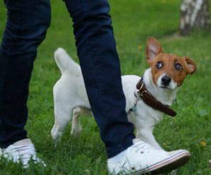 Как правильно приучать щенка к ошейнику и поводку