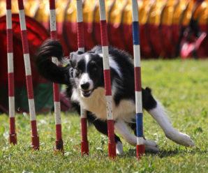 Все, что нужно знать об аджилити, спорт для хендлера и собаки