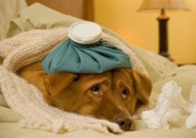 Уход за простуженной собакой