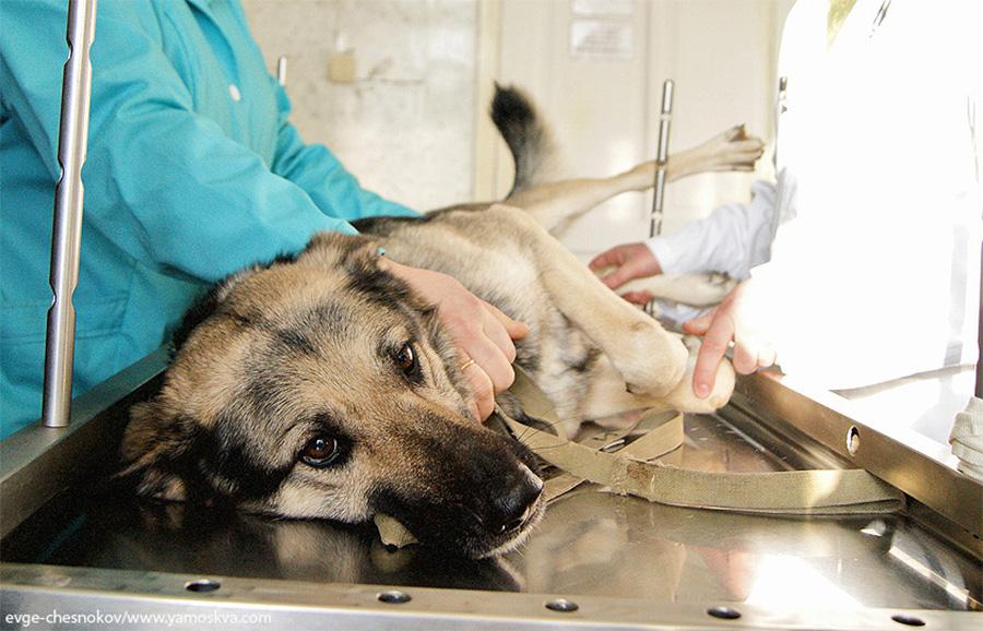 Подготовка к кастрации собаки