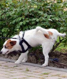 Собака писает на улице