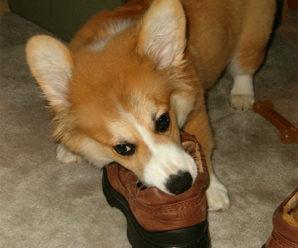 Как отучить собаку грызть вещи, когда она остается дома одна