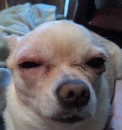 У собаке опух глаз