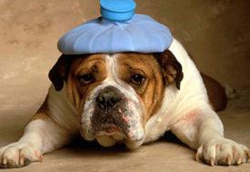 Симптомы сотрясения мозга у собак